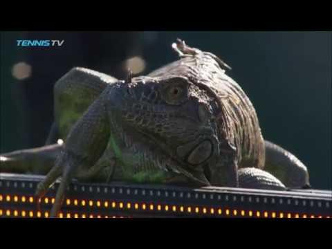 Iguaani juoksee tenniskentälle