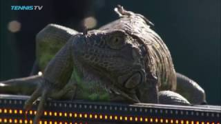 Iguana invades tennis court