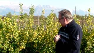 #333 Die Vierbeeren blühen (Ribes aureum)