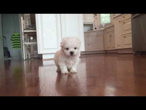 Bella is now ready to become your own beautiful, sweet toy MaltiPoo