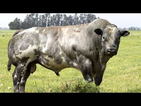 Belgian Blue Cows — evidence of 'de-volution'