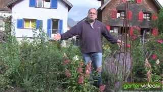 #1348 Hydrangeasy Pinky Winky - Hydrangea paniculata