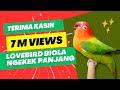 Lovebird Ngekek - Lovebird Biola Ngekek Panjang