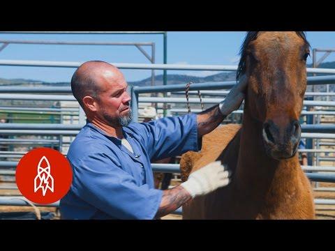 Convict Cowboys Taming Wild Mustangs