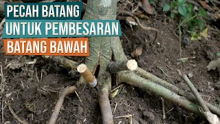 Video How To Split Trunk To Create Good Bonsai Nebari (Surface Roots) MP3, 3GP, MP4, WEBM, AVI, FLV Agustus 2018