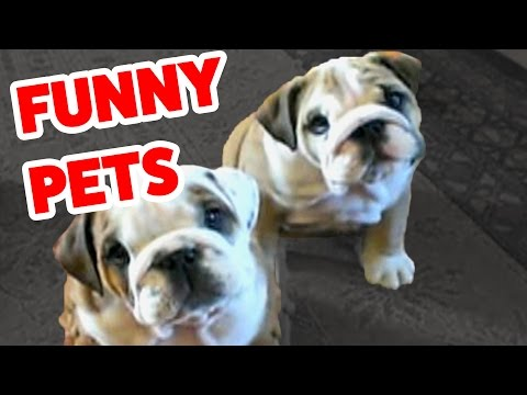 Funny Pet Video Compilation | Cutest Animals 2016:  Funny Pet Videos from all of your favorite animals! Including dogs, cats, monkeys, horses, cows, sheep,  and more! Check out more Funny Dog Videos ► http://www.ascendents.net/?v=7zZU-5uPHdQ&list=PLf6Ove6NWsVcM75fCjLk3i-9IkpCmPyXw&index=3Funny Cat Videos ► http://www.ascendents.net/?v=BoM9-bXzDjk&list=PLf6Ove6NWsVeM5MOVs_Yzj3AsV41DfQ9R&index=1Click here to Subscribe ► http://www.youtube.com/user/tailsnfails?sub_confirmation=1Welcome to Funny Pet Videos, a channel dedicated to cute, fluffy cats and curious, rambunctious dogs. We are here to fill your life with more furry and funny things the adorable friends in our lives do. Every Thursday, Friday, Saturday and Sunday we'll have a new compilation of the funniest home videos of cats, dogs, birds and all kids of animals being equally hilarious and adorable. Be sure the Subscribe to our channel to never miss one! So sit back, relax and have a laugh on us. For licensing information contact us at licensing@collabcreators.com. We'd love to have your furry friend on our channel! Send us a link to your video if you would like to see it in one of our compilations. #funnypetvideso #fpv #animals #funnydogs #cutecats