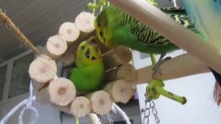 Budgies (Zoey and Fleksnes) enjoy playing in the small tunnel they have. 'Liker å leke i tunelen