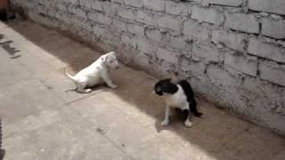 Video BULL TERRIER  VS GATO MP3, 3GP, MP4, WEBM, AVI, FLV November 2017
