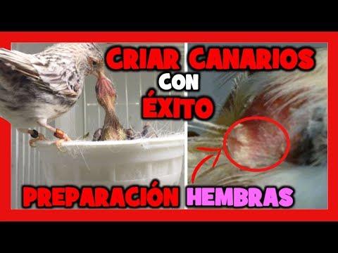 COMO CRIAR CANARIOS  PREPARACION DE LAS HEMBRAS PARA LA CRIA DE CANARIOS  PARTE 1