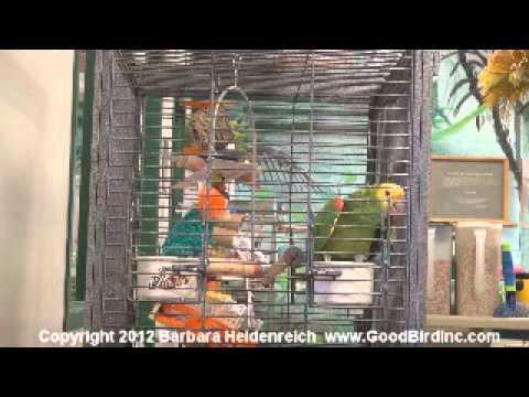 Wrigley the Amazon Parrot Sings Happy Birthday