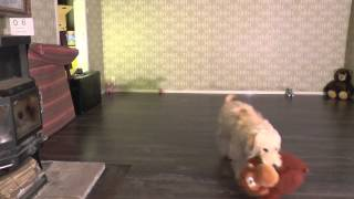 Happy Doggie Speed Run, Compilation No.26 Funny Golden Retriever Poodle Mix Goldendoodle Ally