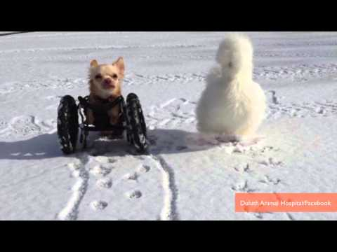 Friendship Between Two-Legged Chihuahua and Fluffy Chicken is Adorable