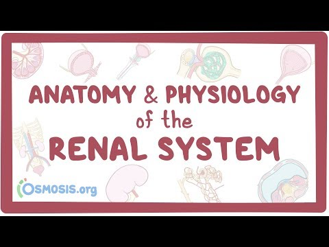 Anatomy And Physiology Of The Kidneys, Urinary Bladder, Ureters, Urethra, And Nephron