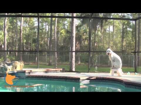 florida dog trainer - http://www.Fine-tunedCanines.com http://www.facebook.com/FinetunedCanines Roxie the Goldendoodle practicing impulse control & obedience around real-world dis...