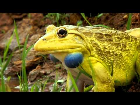 Yellow Frog With Blue Cheeks | weirdtwist