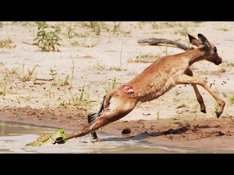 العرب اليوم - تمساح يتعلّم الصيد في غزالة صغيرة