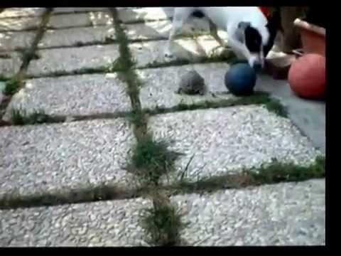 """[動画 犬]カメは、意外と早かった """"ボール争奪戦 亀VS犬"""""""