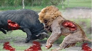 Lion vs. Buffalo Fight To Death-Lion vs Buffalo Real Fight    Who Would Win    Full (HD)