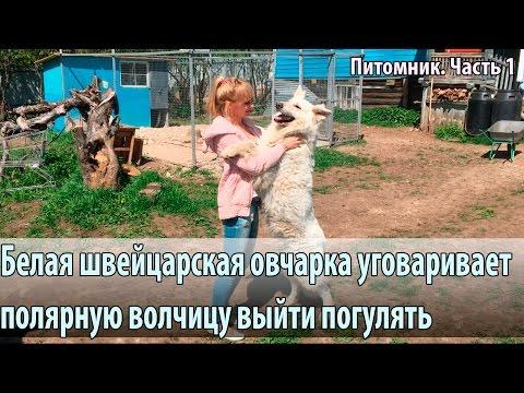 Овчарку подсаживают к полярному волку
