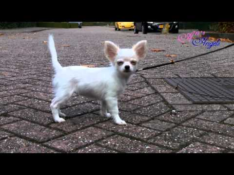 Chihuahua Puppy An's Angels Muffin -training – buiten 21 okt. 2012