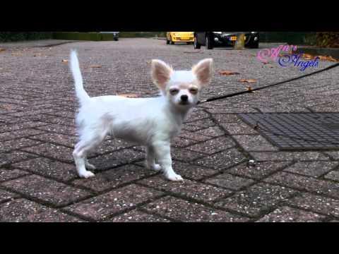 Chihuahua Puppy An's Angels Muffin -training – buiten 21 okt. 2012