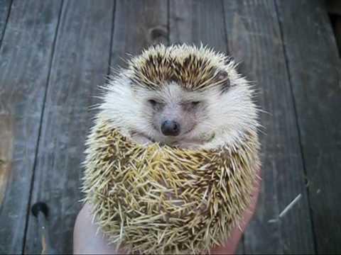 寝起きのハリネズミ Good morning! Hedgehog!
