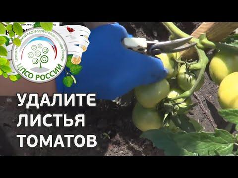 Формирование томатов в открытом грунте в период сбора урожая. Как прищипывать верхушку томата.