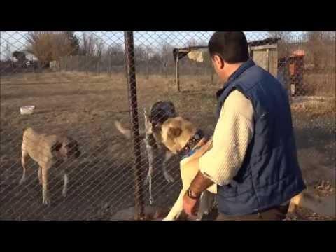 turkish shepherd dog - Anadolu Çoban Köpeği ''BOĞAÇ'' Anatolian Shepherd Dog Birol KARA & Serkan KARAAHMETOĞLU.