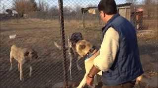 Kastamonu Turkey  city pictures gallery : Anadolu Çoban Köpeği ''BOĞAÇ'' Anatolian Shepherd Dog Kastamonu/Turkey