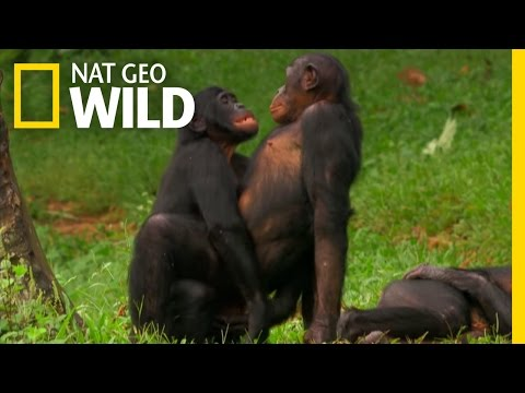 Bonobo Love | Wild Wives Of Africa