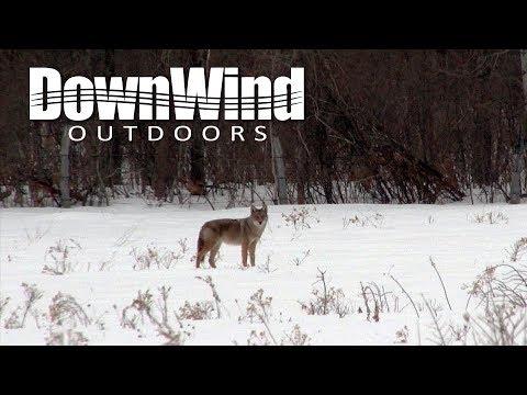 Chasse aux coyotes en hiver dans l'État de New York