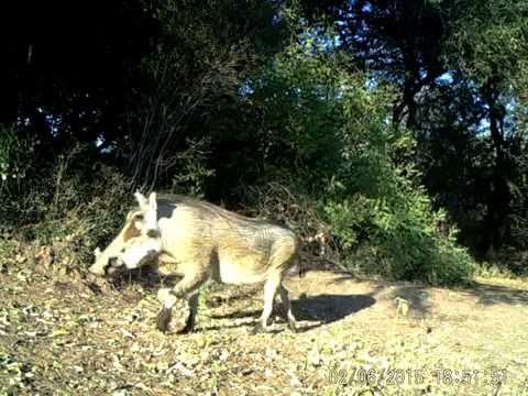 Warthog, tail up!