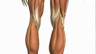 Download Lagu Muscles of the Leg - Part 2 - Anterior and Lateral Compartments - Anatomy Tutorial Mp3