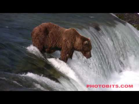 HD: Brown Bear Catches A Salmon Jumping A Waterfall