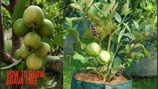 Video How to Grow guava tree Agri Buzz Technique MP3, 3GP, MP4, WEBM, AVI, FLV Oktober 2018