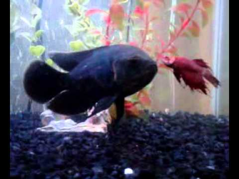 Can a betta fish and oscar fish share the same aquarium for What kind of fish can live with a betta