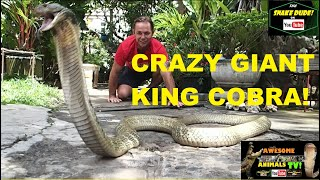 Download Video KING COBRA World's Largest VENOMOUS SNAKE!  - Awesome Animals TV! - Corey Wild MP3 3GP MP4