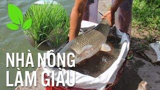 """Độc lạ"""" trồng lúa cho cá ăn, cá lớn nhanh như thổi"""