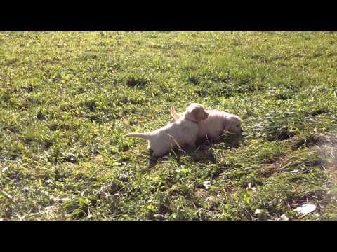 Vendita cuccioli golden retrievers all. oasi del cucciolo