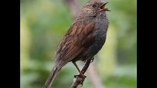 Kamiichi Japan  city pictures gallery : カヤクグリのさえずり Japanese accentor singing