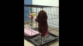 Toy Poodle Puppy First Night : Whining And Seperation Anxiety - V002