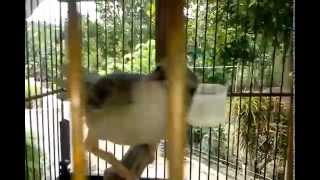 Download Video ciblek pines gacor MP3 3GP MP4