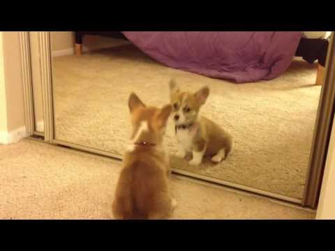 Welsh Corgi Mocha's First Mirror Reflection