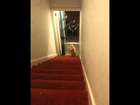 Dog Christmas Pants Stair Gymnastics