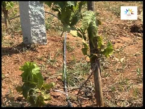Seedless grape cultivation in Subtropics Kannada Part 1