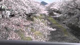 羽黒の桜まつり1・羽黒コミ会場準備とサクラ