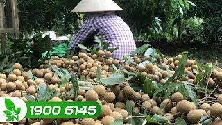 Nông nghiệp | Nhiều người trồng nhãn chưa có được niềm vui trọn vẹn