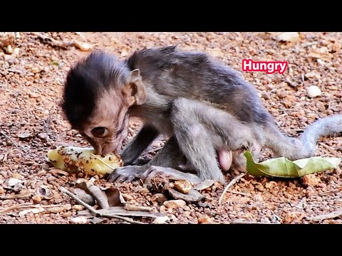 Skinny baby Tinyo is  hungry food and trying hard to follow old boss, Mr  Tor, Adorable Wildlife