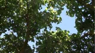#827 Die Schönheit des Maulbeerbaums