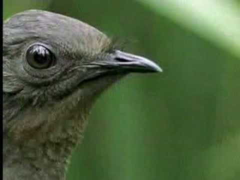 liarbird - Lyre bird impersonates Jim Carrey during a chance meeting with David Attenborough.